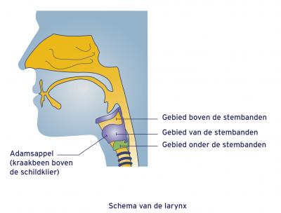 Scema van de larynx